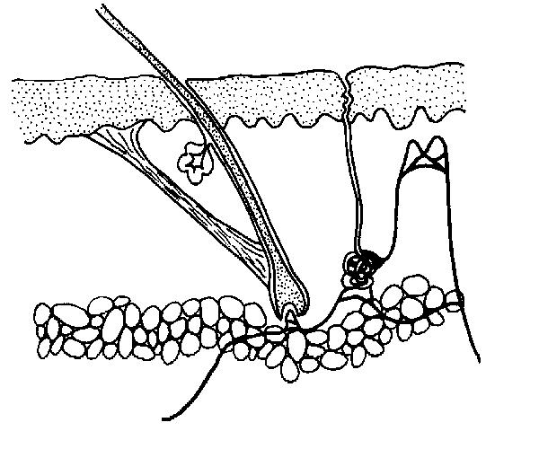 sweat pore diagram