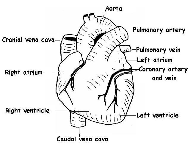 label the heart diagram answers