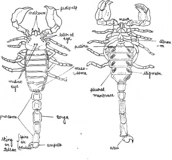 body of sternum diagram