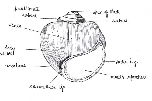 apple snail labelled diagram