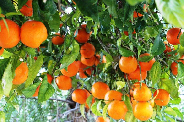 What Does An Orange Tree Look Like Garden Design Ideas