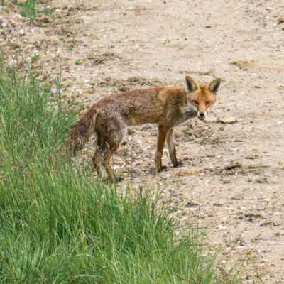 Wildlife Adventure – A red fox walks by