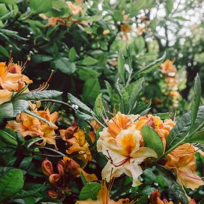 Rhododendron Feast