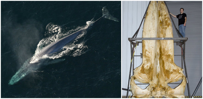 Blue Whale : At 98 ft. (30 metres) and 200 tons (180 metric tons) in weight, the Blue Whale is the largest known animal to have ever existed. During the summer feeding season a Blue Whale may eat up to 40 million krill a day. (Left: Blue whale from above; Right: Blue whale skull.)
