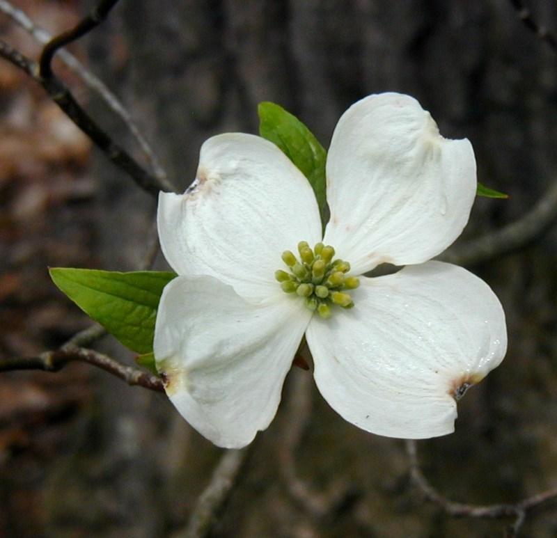 Neat dogwood flower dogwood trees bloom after serviceberries fullsize of white flowering dogwood large of white flowering dogwood mightylinksfo