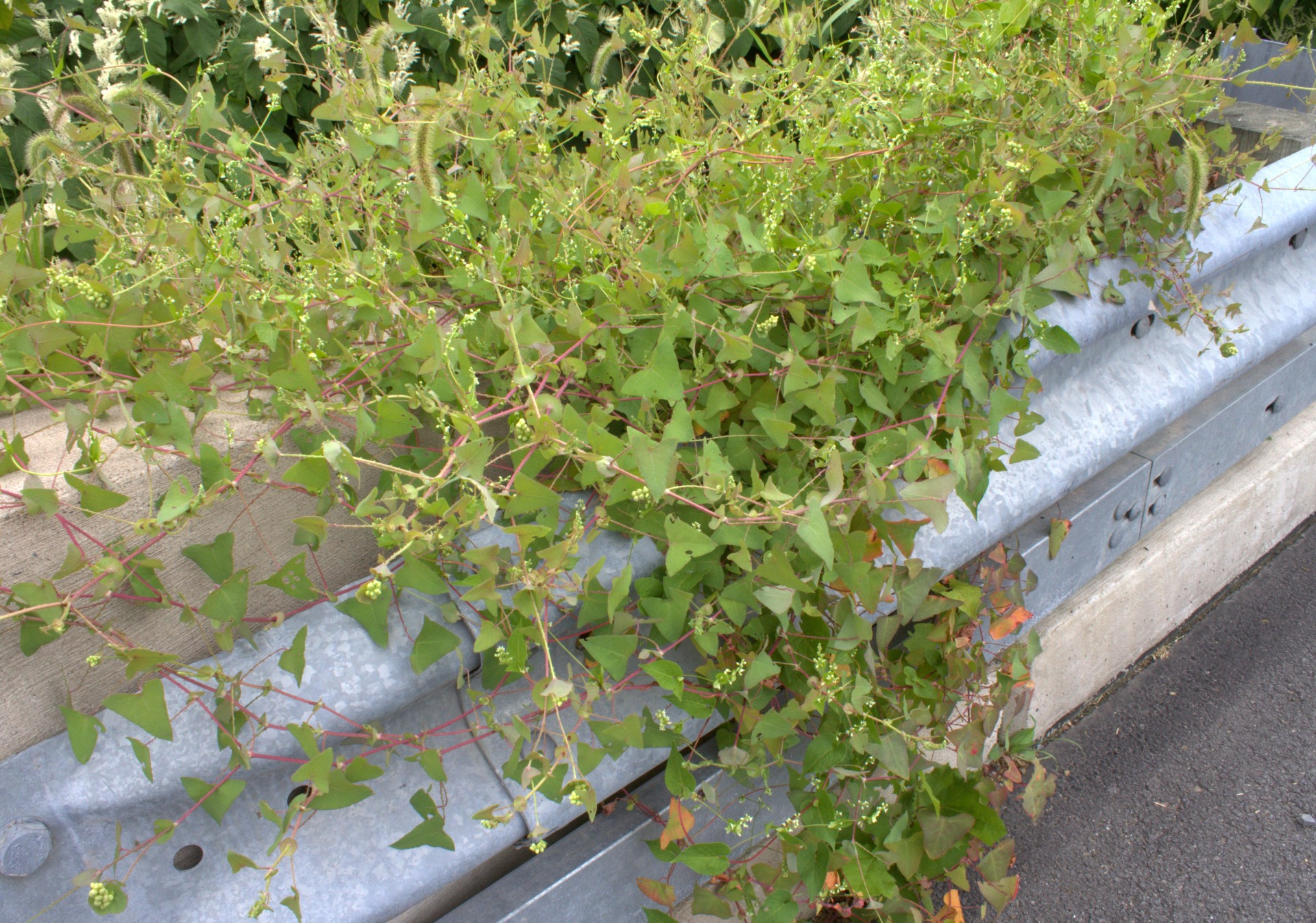 Posh Over Bridge Triangle Vine Weed Blue Berries Is That A Weed Vine Sequel Adam Is That A Weed Vine Tear Thumb Vine Scrambles Up houzz-02 Is That A Weed Vine
