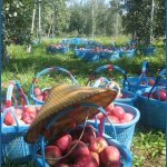 in 2004 I was apple farming in Nagano, Japan. I got in trouble for pulling out the stalks - in Japan apples are an expensive delicacy and need to look beautifully intact.