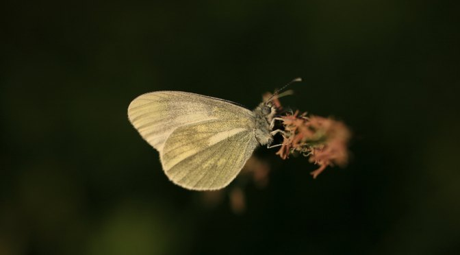 The Wood Whites – #9 & #10 Butterfly Challenge
