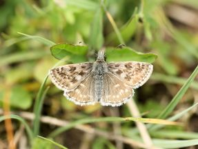 Dingy Skipper zoomed