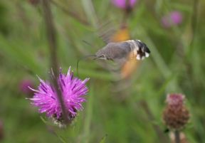 Hummingbird hawkmoth 1 resize