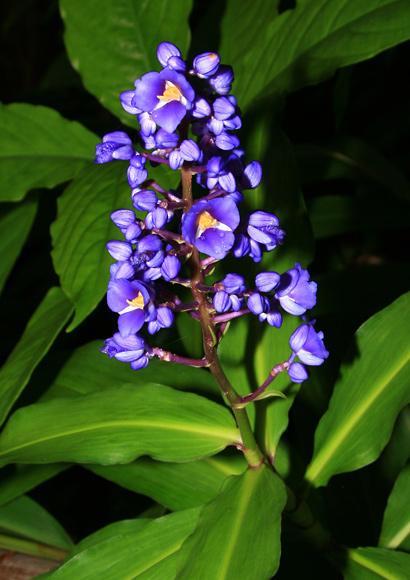 Purple and Blue Hawaiian Flowers \u2013 Hawaiian Plants and Tropical Flowers