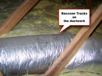 Raccoon paw prints on top of AC ductwork