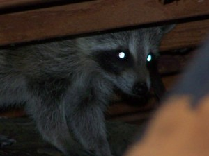 image of raccoon in an attic