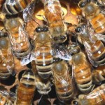 beehive-swarm