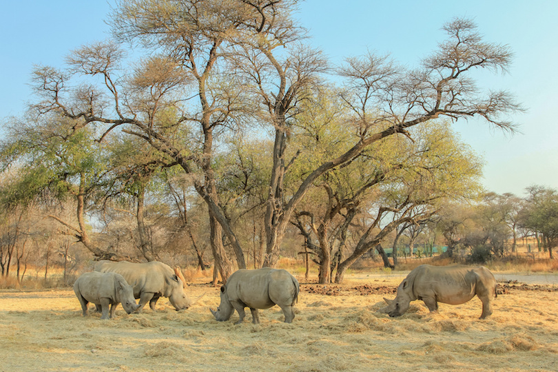 Herd of white rhinoceros grazing under trees near Omaruru, Namibia, Africa