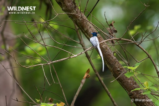 Asian Paradise flycatcher at dudhwa tiger reserve