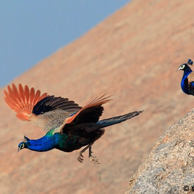 peacock flying at bera