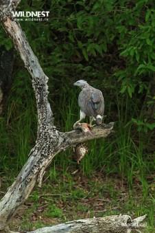 Grey headed fish eagle at dudhwa tiger reserve