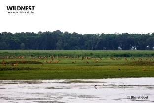 Hog deer herd at dudhwa tiger reserve