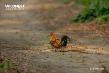 Red Jungle Fowl at dudhwa tiger reserve