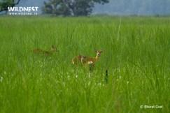 Spotted Deer at dudhwa tiger reserve