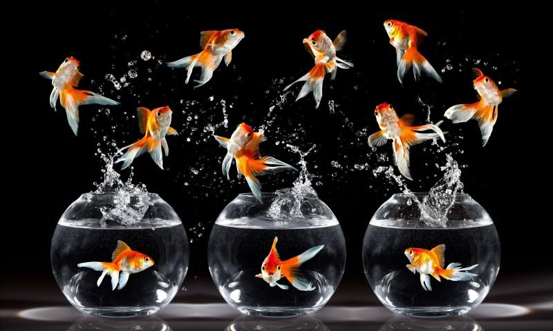 golden fish photography