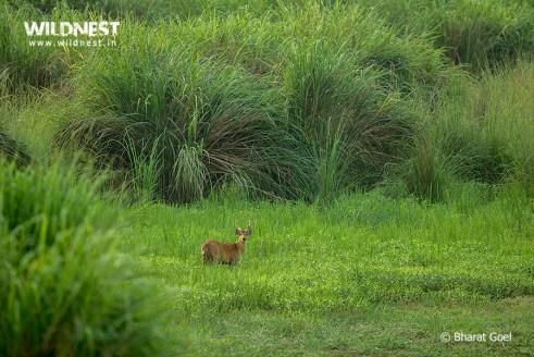 Hog deer at dudhwa tiger reserve