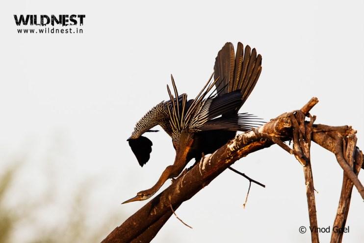 Indian Darter at Keoladeo Ghana National Park