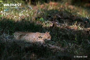 jungle cat at bandhavgarh national park