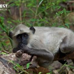 langur monkey at bandhavgarh national park