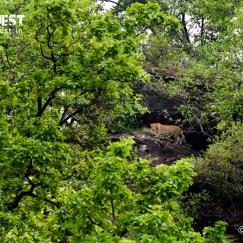 leopard in habitat at bandhavgarh national park