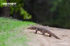 monitor lizard at bandhavgarh national park