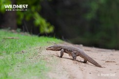 monitor lizard at bandhavgarh national park