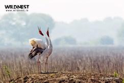 sarus crane at keoladeo ghana national park bharatpur