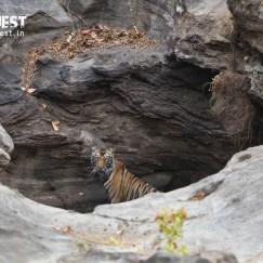 tiger in den at bandhavgarh national park