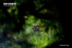 Tiger prinia at dudhwa tiger reserve