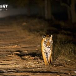 night photography of tiger at bandhavgarh national park