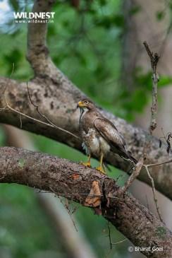 White eye buzzard at dudhwa tiger reserve