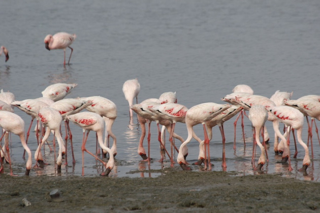 flamingos at sewri jetty mumbai