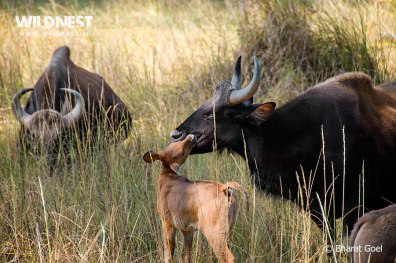 indian gaur with baby at kanha national park