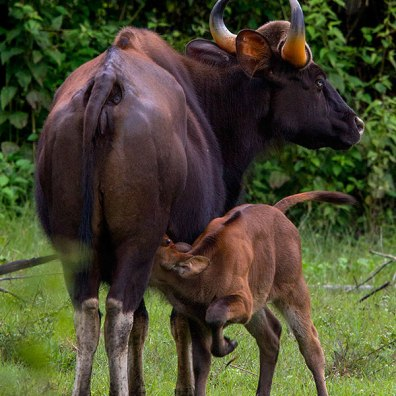 Indian baby gaur sucking milk at bandipur national park