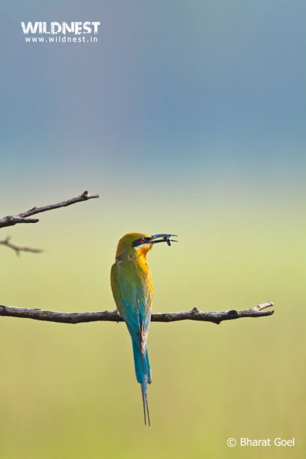 blue-tailed bee eater eating insect at dudhwa national park