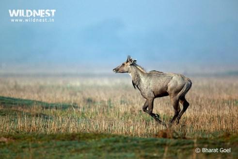 bluebull running in habitat at bharatpur wildlife sanctuary