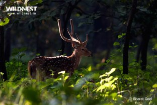 spotted deer at dudhwa national park