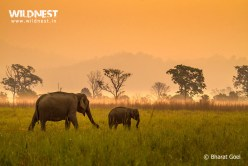 elephant at jim corbett tiger reserve, india