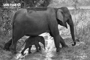 elephant mother with cub at corbett tiger reserve