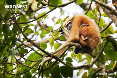 female hoolock gibbon at Kaziranga National Park