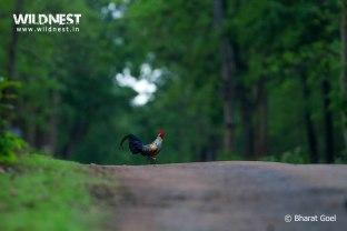 Grey Jungle Fowl at Tadoba in Monsoons
