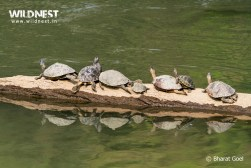 roofed turtle at Kaziranga National Park