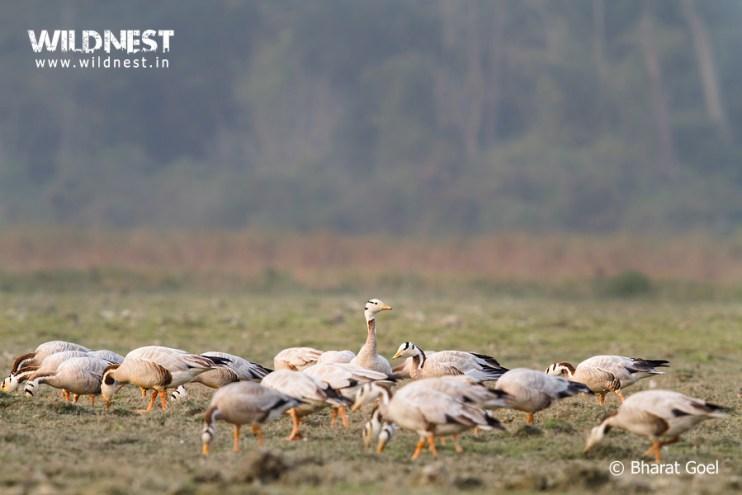 geese bird at Kaziranga National Park